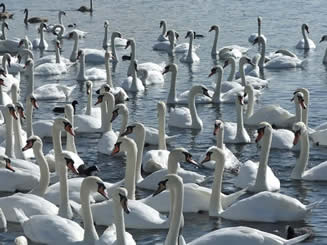 Adult swans at feeding time at Abbotsbury Swannery, Dorset