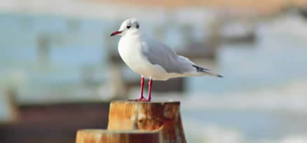 Gull posing on breakwater Hayling Island 31 Oct 2016